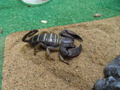 South African Flat Rock Scorpion