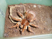 Goliath bird-eater Spider