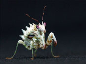 Spiny Flower Mantis